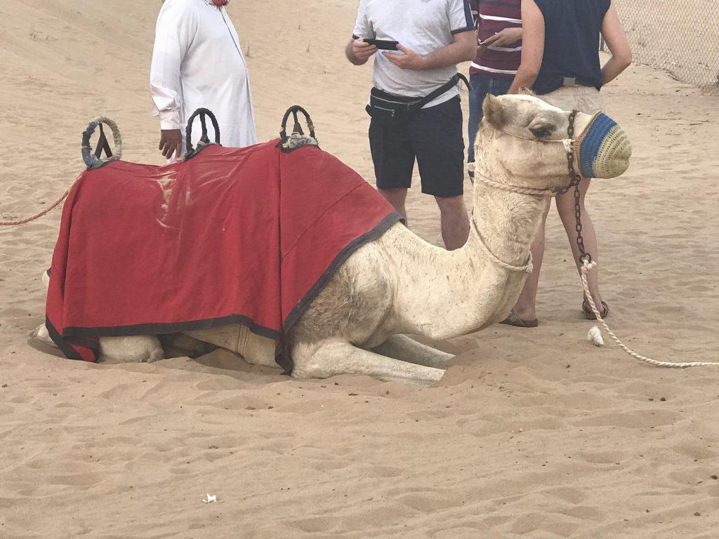 ドバイ砂漠ツアーのラクダ