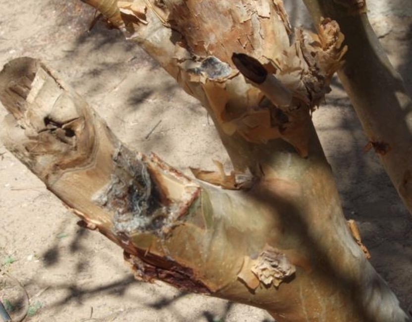 オマーンサラーラの乳香の木